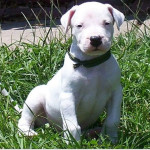 Basic Dogo Argentino Puppy Training